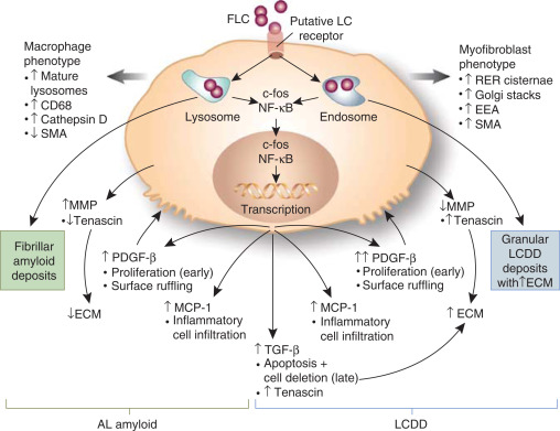 The Biology Of Immunoglobulin Free Light Chains And Kidney