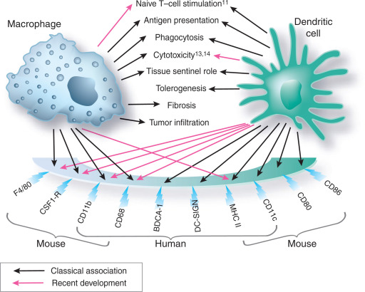 Macrophages And Dendritic Cells  What Is The Difference