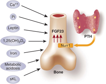 molecular interactions of fgf23 and pth in phosphate regulation