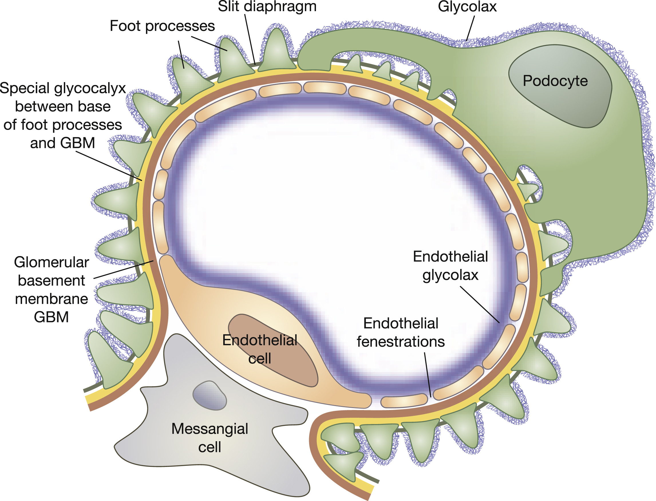 Revisiting The Determinants Of The Glomerular Filtration Barrier  What Goes Round Must Come