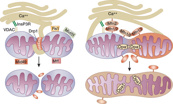 The Hallmarks Of Mitochondrial Dysfunction In Chronic Kidney