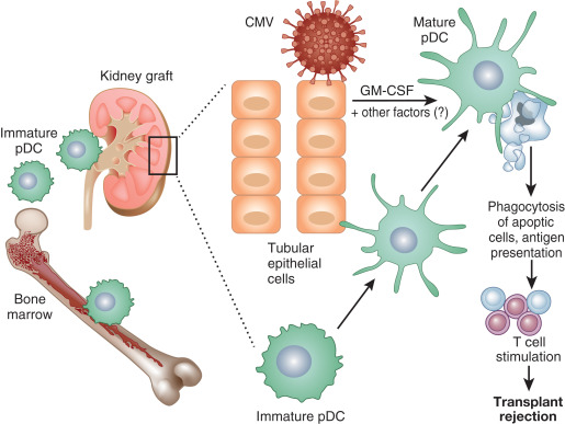 Plasmacytoid Dendritic Cells  Important Players In Human