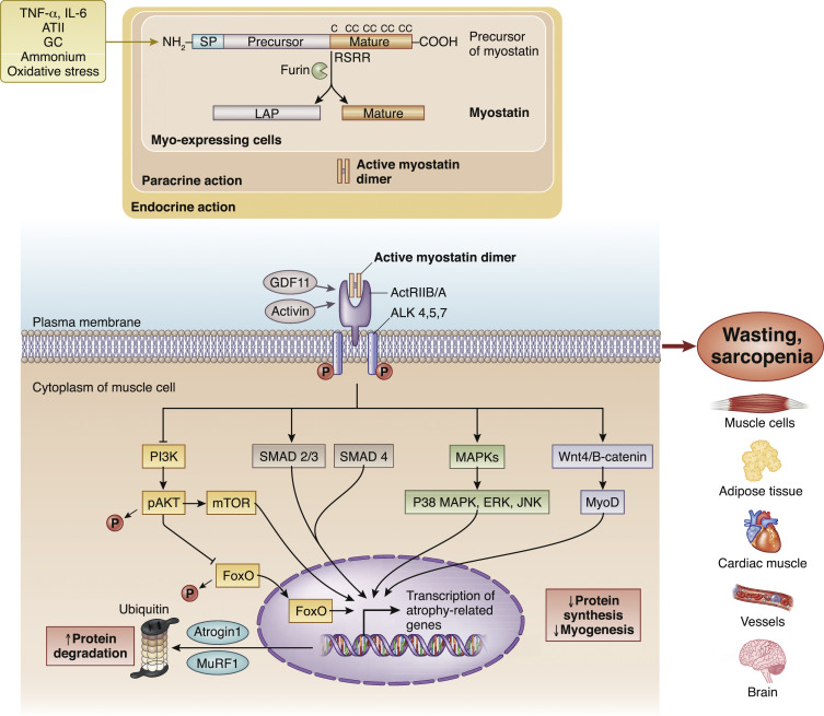 Emerging role of myostatin and its inhibition in the setting