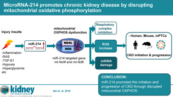 Microrna 214 Promotes Chronic Kidney Disease By Disrupting